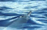 Baleine à bec de Sowerby
