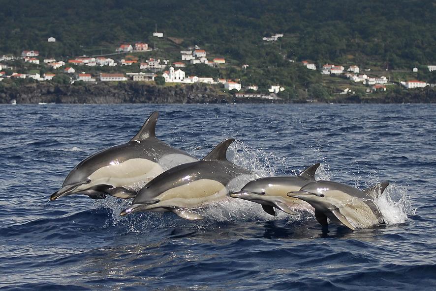 Delphinus delphis Sao Joao