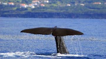Une baleine plonge