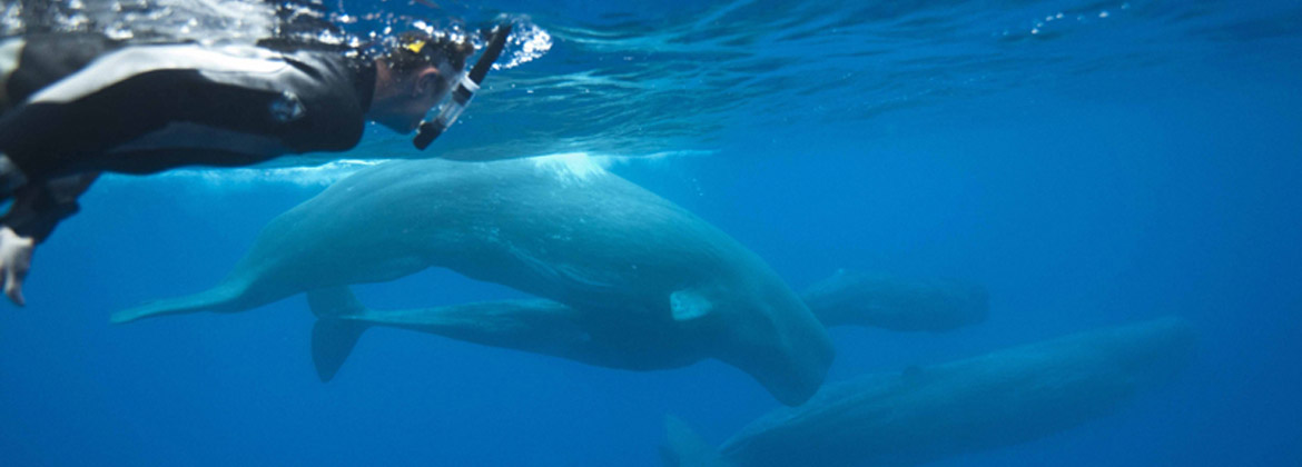 Sperm Whales azores