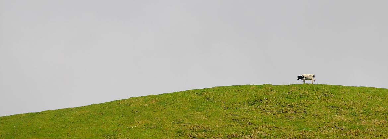 Azorean mammal