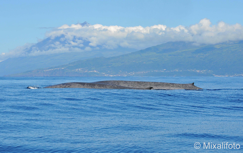 Blue Whales Pico mount