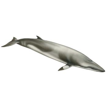 Baleia-anã