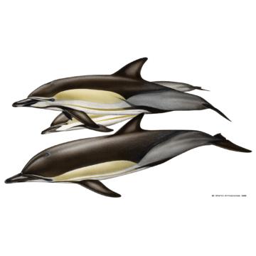 Gewöhnlicher Delfin