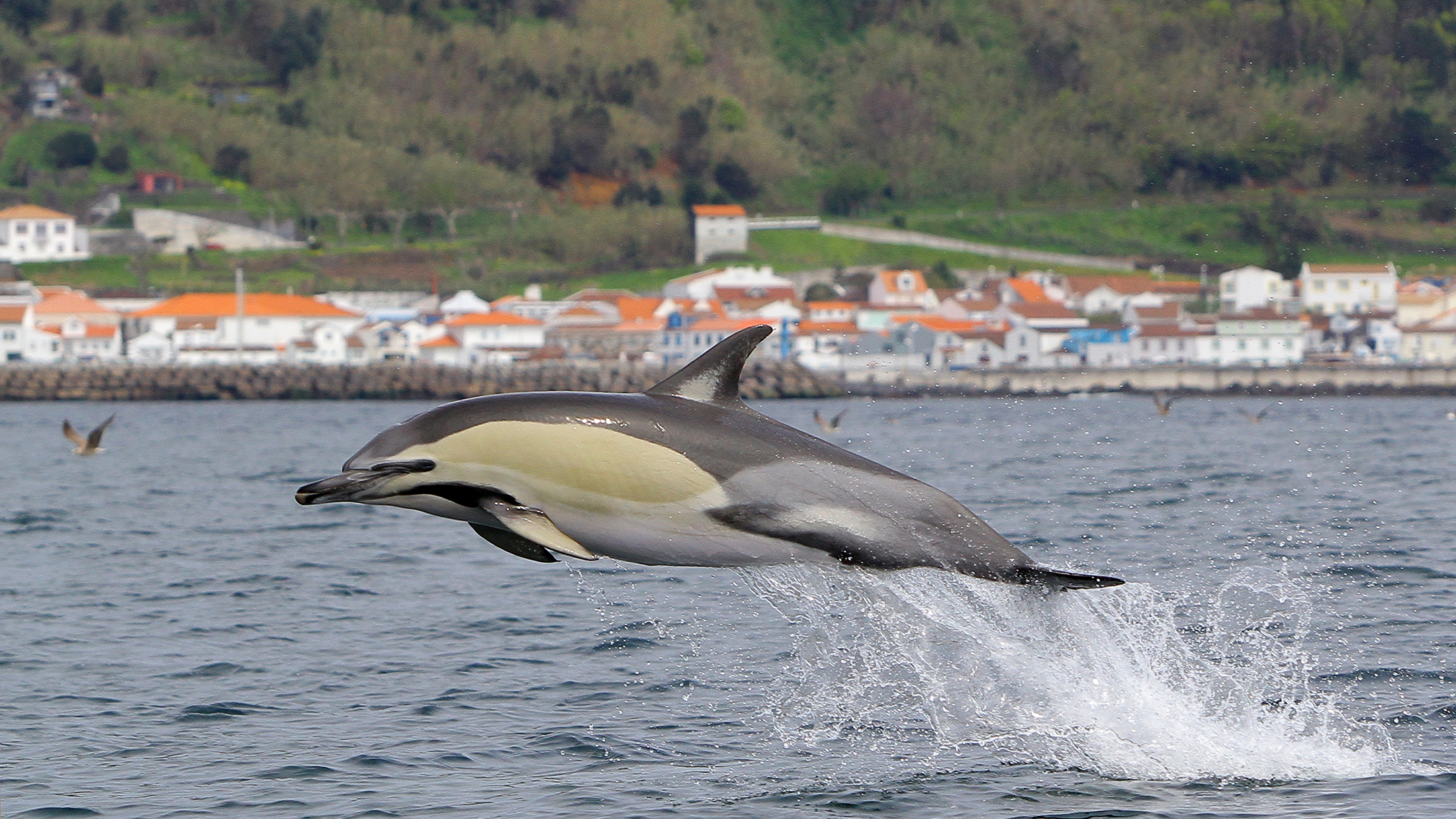 Delphinus Delphis  Lajes do Pico