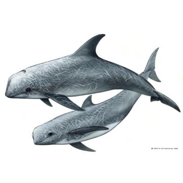 Rundkopfdelfin