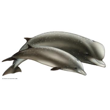 Hyperoodon arctique