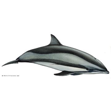 Fraserdelfin