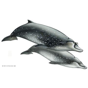 Blainville-Zweizahnwal
