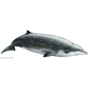 Baleia de bico de Gervais