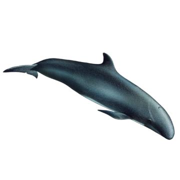 Fausse orque