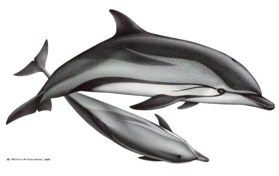 dauphin bleu et blanc