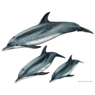 Atlantischer Fleckendelfin