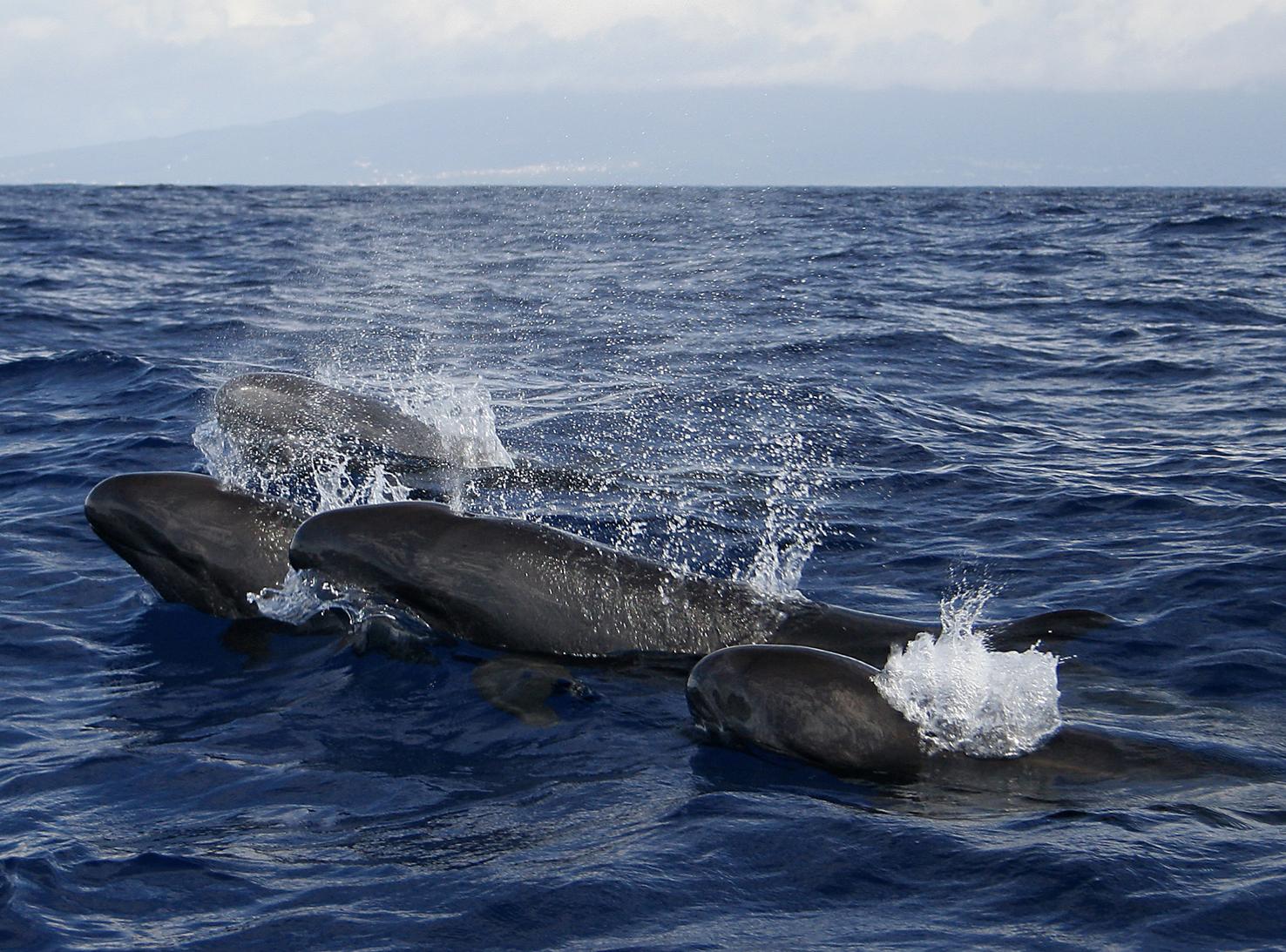 Pseudo orca crassidens