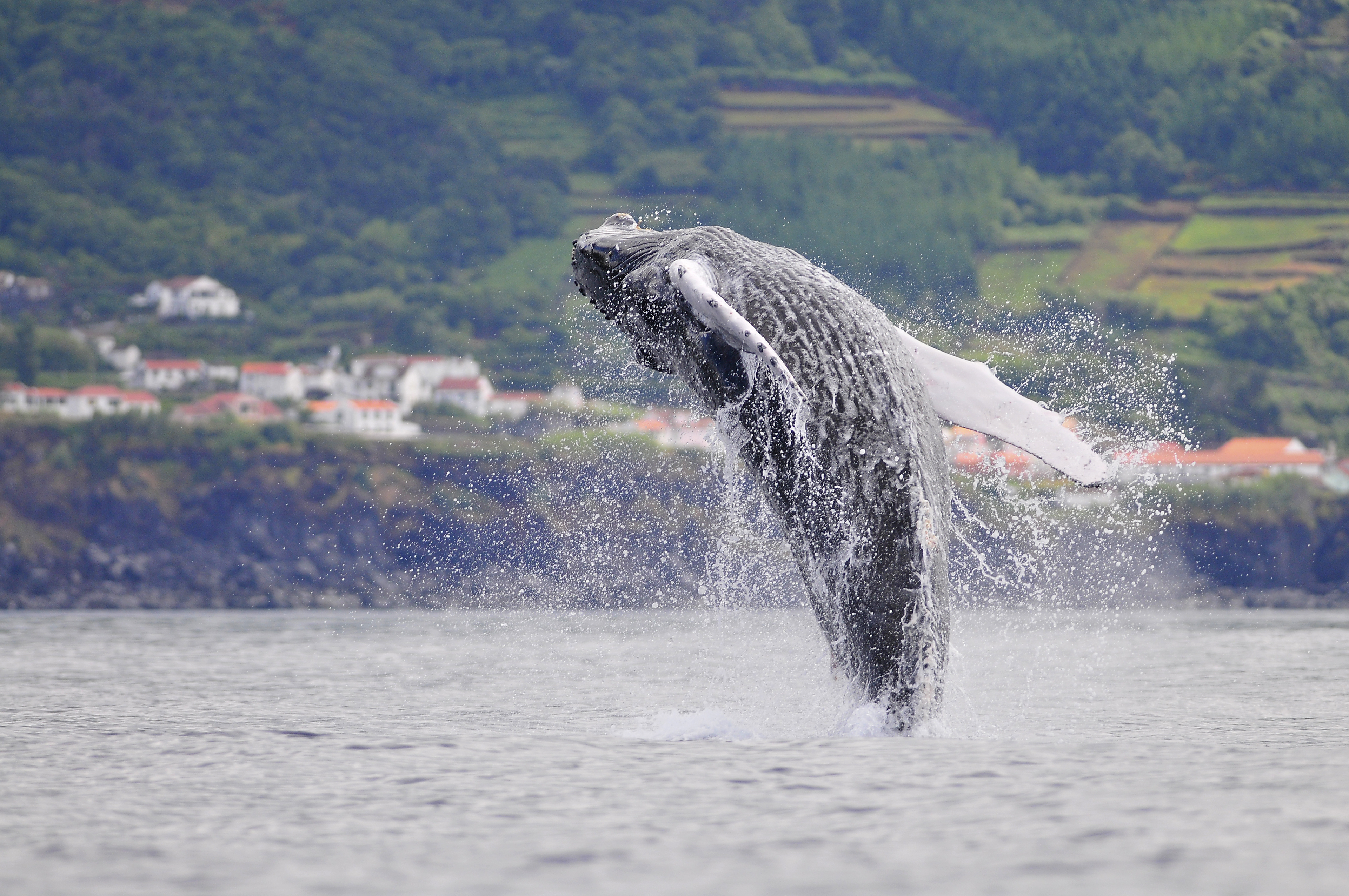 Humpback whale Ribeira do Meio