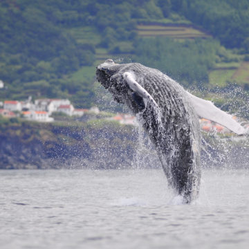 Azores, land of whales