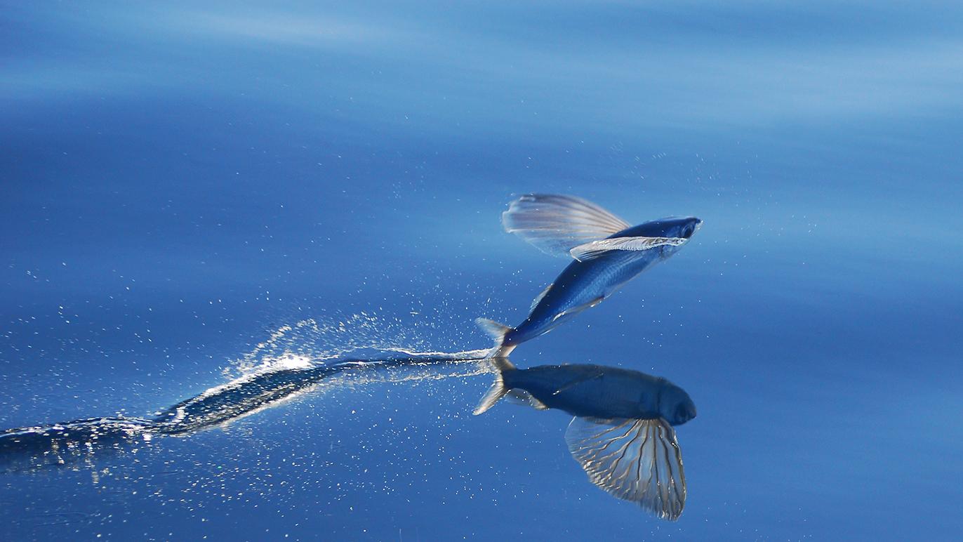 peixe voador