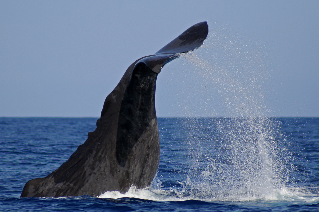 physeter macrocephalous