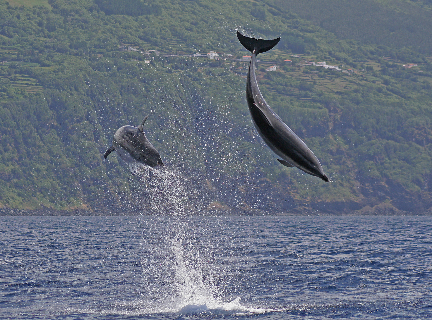 Bottlenose dolphins Azores