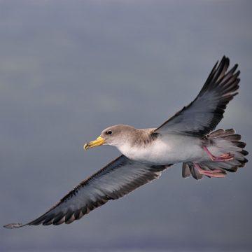 Birds of Pico
